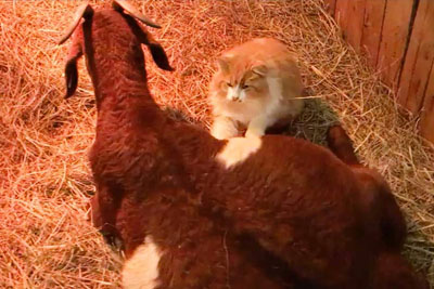 Lonely Pregnant Goat Was In The Barn When A Feline Showed Up. This Is A Must Watch!