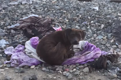 Homeless Pit Bull Sits By Her Dead Friend For Two Weeks, Then Good People Rescue Her