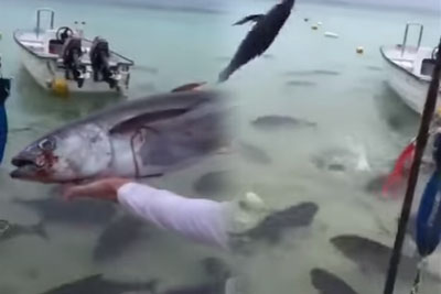 Guy Tosses A Tuna To A Group Of Giant Piranhas, Footage Is Totally Crazy