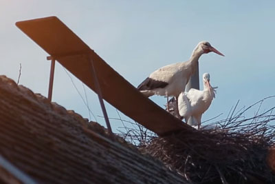 Each Year This Stork Flys Over 5,000 Miles To Return To His Love, Who Can't Fly
