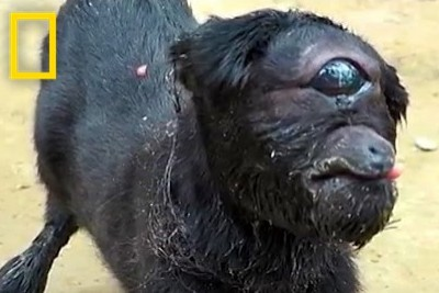 "Footage Of ""Cyclops"" Goat Born In India Will Make You Cringe"