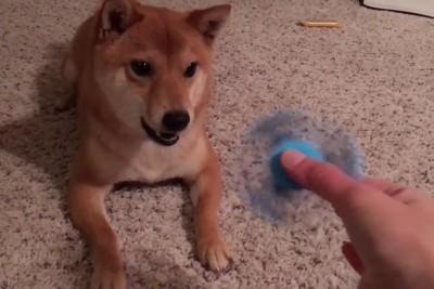 Angry Shiba Dog Steals All The Attention When Owner Shows Him A Fidget Spinner