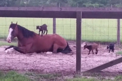 Baby Goats Climb Onto Patient Horse, Footage Is Going Viral