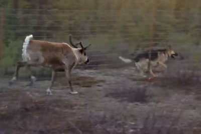 A Fence Can't Stop This Reindeer And German Shepherd From Being Best Friends