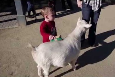Watch How This Hilarious Goat's Fart Scares Little Kid