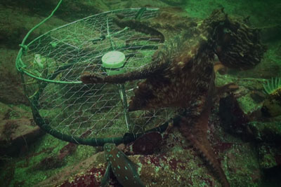 BBC Footage Shows How Octopus Steals Crab From Fisherman