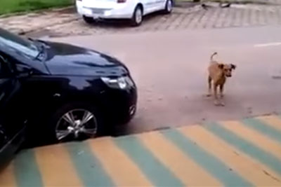 Dog Approaches Car That Is Blasting Loud Music, Then He Busts Out His Smooth Dance Moves