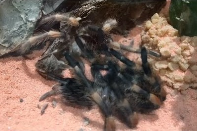 Watch This Tarantula Crawl Out Of Its Own Skeleton