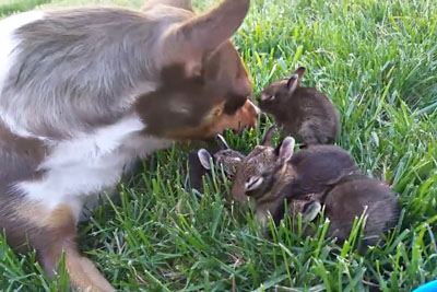 Little Dog Becomes A Foster Mom To 5 Orphaned Baby Bunnies, Footage Is Going Viral