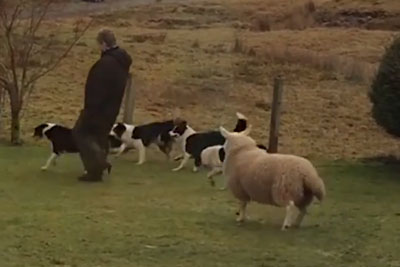 Watch This Adorable Sheep Trying To Fit In With A Group Of Dogs