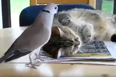 Cat and the Pigeon Friendship