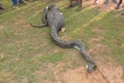 Python Swallows Whole Goat, This Is What Locals Did With A Snake