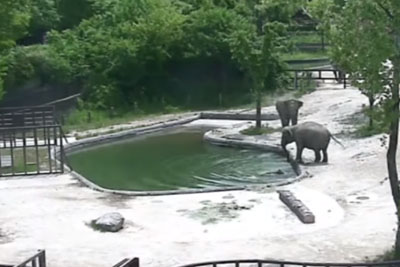 Elephants Jump Into Action To Save Calf That Fell Into Pond, Footage Is Going Viral