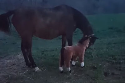 Woman Behind Camera Steals All The Attention With Her Laugh When Horse Meets Plush Foal