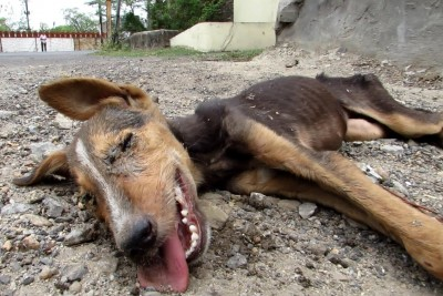 Collapsed Street Puppy Was Wagging His Tail Just Before Death, Then Good People Saved His Life