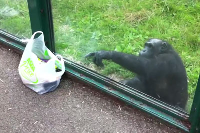 Clever Chimp Impress Everyone With His Wisdom, Uses Gestures To Ask A Visitor For A Drink
