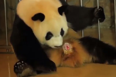 Panda Giving Birth Is Something You Will Not Expect For Sure