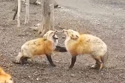 Screaming Foxes Will Make Your Day With Their Funny Behaviour