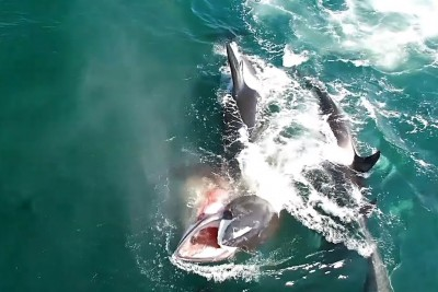 Orcas Work Together To Take Down A Minke Whale