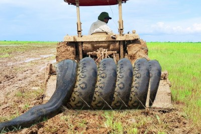 Brave Brothers Catch Very Big Snakes While Tractor Is Plowing The Fields