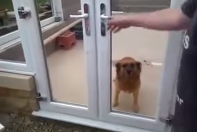 Dog Steals Whole Attention With His Fear Of Banging Into Glass Door