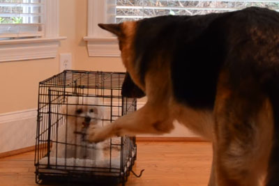 Mom Sets Up Camera When Tiny Puppy Keeps Escaping. Captured Footage Is Hilarious