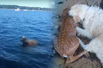 Hero Dog Saves A Baby Deer From Drowning, Owner Captures Everything On Video