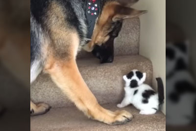 Big Dog Doesn't Leave His Friend Behind, Carries Little Kitten Upstairs With Him