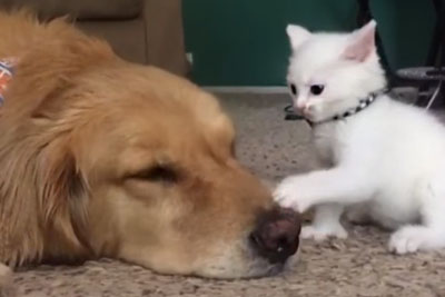 Adorable Footage Of Kitten That Wants To Play With A Dog Who Just Wants To Nap