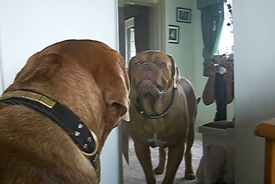 Dog Sees His Reflection For The First Time, Captured Footage Is Going Viral