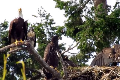 Hawk Raised By Eagles Is Starting To Act Like One