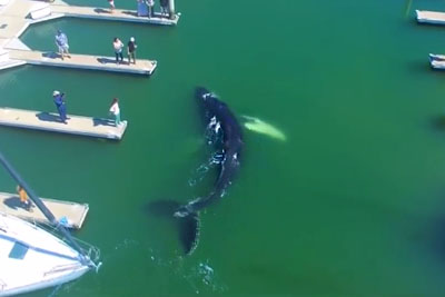 Breathtaking Drone Footage Shows Large Humpback Whale Lost In Ventura Marina
