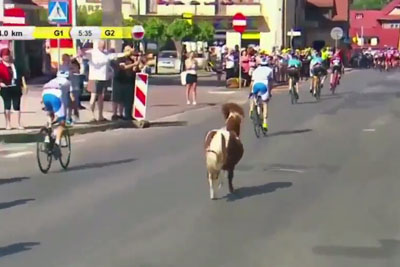Extremely Good Little Horse Joins Pro Cycling Race, Steals Whole Attention