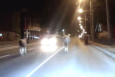 Speeding Driver In Russia Hits Horse In The Middle Of The Road