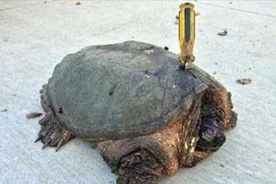 Turtle Impaled With Screwdriver, Gets Rescued By A Special Couple