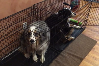 Owner Asked Australian Shepherds Who Is Guilty. Next Moment Captured On Camera Is Hilarious!