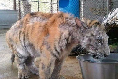 Suffering Tiger Cub Rescued From Circus. When She Meets A New Friend, Everything Changes