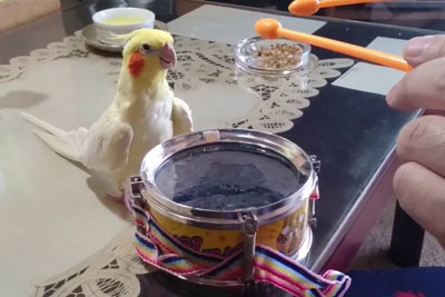 Bird Steals The Whole Show After His Owner Starts To Rock Out On The Drums