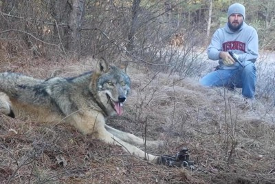 Man Spots Beautiful Timber Wolf In Woods, Realizes It's In Trouble And Jumps Into Action