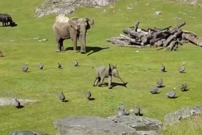 Guy Visits Animal Park, Captures Adorable Baby Elephant Chasing Birds