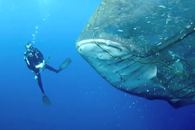 Four Whale Sharks Were Stuck In A Fishing Net, Then Group Of Divers Save Them