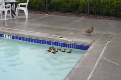 Husband Rushes To Rescue Panicked Baby Ducks, Genius Solution Has Internet Smiling