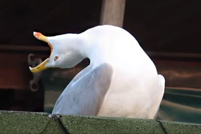 Seagull Steals The Whole Show, His Hilarious Laughing Is Going Viral
