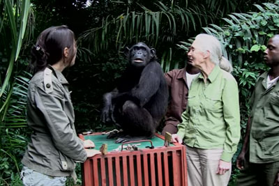 Chimp About To Be Released Into Wild, But Her Final Act Towards Rescuer Is Heartbreaking