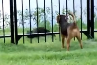Every Evening This Dog Goes Next To Fence To Play With A Special Friend