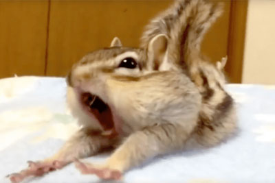 Rescued Chipmunk Discovers Fresh Bed Sheets. His Reaction Has Internet In Laughter