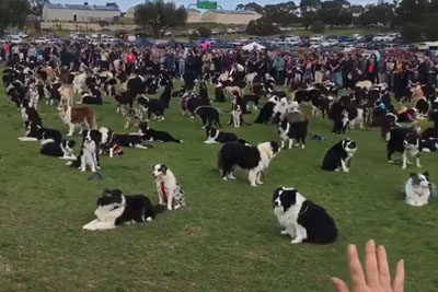 WATCH: Almost Six Hundred Border Collies Met Up In Australia To Beat A World Record