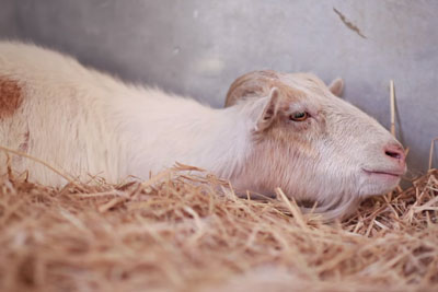 Heartbroken Goat Refuses To Eat For 6 Days, Then Rescuers Discover Why He's So Depressed