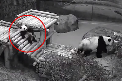 Giant Panda Cub Steal Whole Attention, This Video From Toronto Zoo Is Going Viral