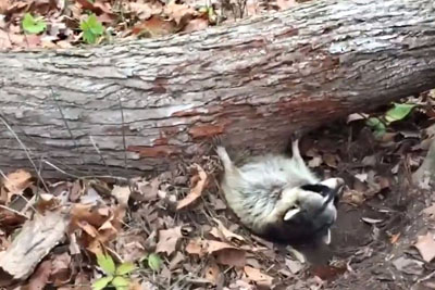 Raccoon Was Trapped Underneath A Tree. Here's The Incredible Rescue!